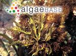 Mammillaria disticha (Sonder) Kuntze