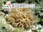 Galaxaura glabriuscula Kjellman