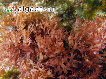 Gloeotrichia punctulata Thuret ex Bornet & Flahault