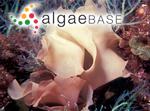 Glaphyrymenia pustulosa J.Agardh