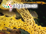 Elachista nigra Takamatsu