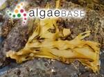 Sarcophycus potatorum (Labillardière) Kützing