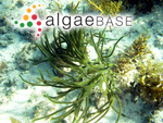 Codium fragile subsp. fragile (Suringar) Hariot