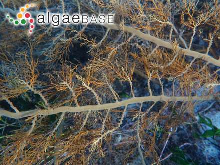 Lemanea torulosa (Roth) C.Agardh