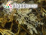 Cystophora racemosa (Harvey ex Kützing) J.Agardh