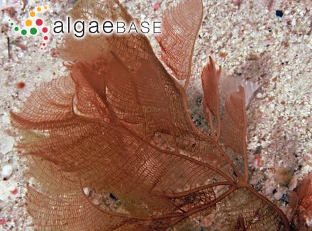 Trachelomonas acanthostoma A.C.Stokes