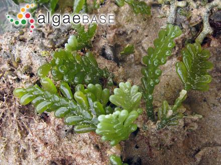 Hibberdia magna (J.H.Belcher) R.A.Andersen