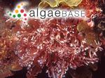 Chondria rangiferina (R.Brown ex Turner) C.Agardh