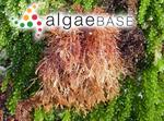 Carpothamnion gunnianum (Harvey) Kützing