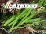 Caulerpa scalpelliformis (R.Brown ex Turner) C.Agardh
