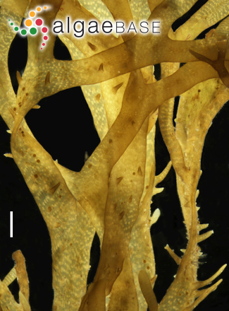 Canistrocarpus cervicornis (Kützing) De Paula & De Clerck
