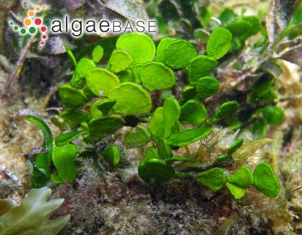 Achnanthes lemmermannii var. lineata Salah