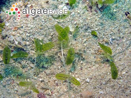Achnanthes lintonensis J.R.Carter