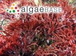 Halopeltis australis (J.Agardh) G.W.Saunders