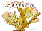 Heterodoxia denticulata (Kuntze) J.Agardh