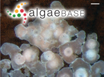 Melobesia farinosa J.V.Lamouroux