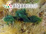 Hormothamnion enteromorphoides Grunow ex Bornet & Flahault
