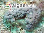 Spongites reinboldii (Weber Bosse & Foslie) Penrose & Woelkering