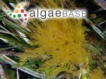 Sphaerococcus musciformis var. valentiae (Turner) C.Agardh