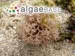 Liagora viscida f. ceranoides (J.V.Lamouroux) Hauck