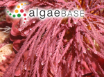 Amphiroa sagittata (J.V.Lamouroux) Decaisne