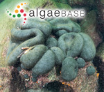 Lamarckia bursa Olivi