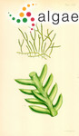 Caulerpa taxifolia var. distichophylla (Sonder) Verlaque, Huisman & Procaccini