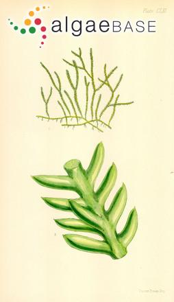 Caulerpa distichophylla Sonder