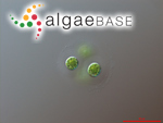 Gloeocystis vesiculosa Nägeli