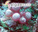 Gibsmithia hawaiiensis Doty