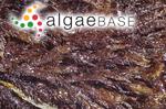 Sarcothalia stiriata (Turner) Leister