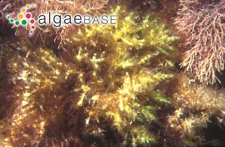 Coeloclonium verticillatum (Harvey) J.Agardh