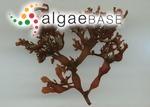 Gracilaria flabelliformis (P.Crouan & H.Crouan) Fredericq & Gurgel