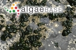 Rivularia bullata Berkeley ex Bornet & Flahault