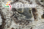 Gelidium micropterum Kützing