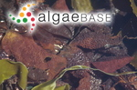 Mastocarpus radula (Esper) Kützing