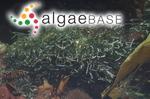 Chaetomorpha robusta (Areschoug) Papenfuss