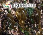 Petalonia binghamiae (J.Agardh) K.L.Vinogradova