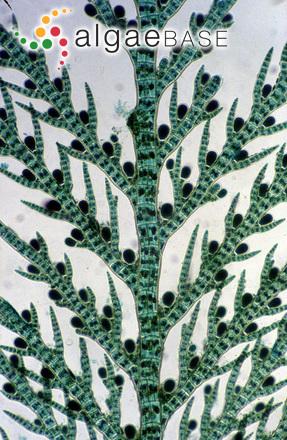 Halopteris filicina (Grateloup) Kützing