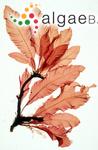 Fucus sanguineus Hudson