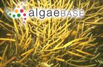 Sargassum grevillei (C.Agardh ex Sonder) Kuntze
