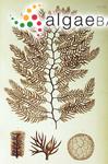 Polysiphonia mallardiae (Harvey) Harvey