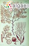 Polysiphonia gunniana Harvey