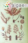 Picconiella pectinata (J.D.Hooker & Harvey) De Toni fil.