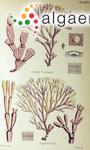 Amphiroa bowerbankii Harvey