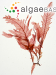 Phycodrys rubens (Linnaeus) Batters