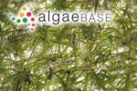 Thalassia hemprichii (Ehrenberg) Ascherson