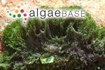 Bryopsis africana Areschoug