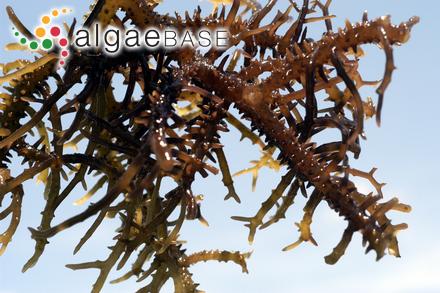 Eucheuma denticulatum (N.L.Burman) Collins & Hervey