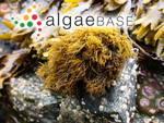 Endocladia muricata (Endlicher) J.Agardh